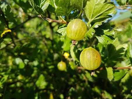 gooseberry-1822864__340